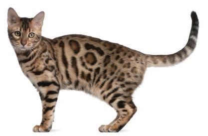 10 Unique Cat Breeds Pet Companion Magazine