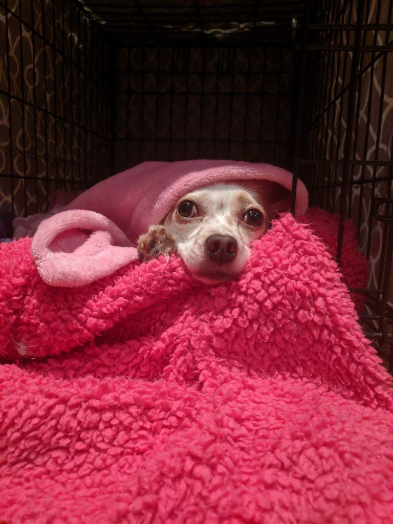 dog cuddling under blankets