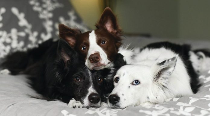 Photograph of three border collies laying together - black, brown & white, white fur