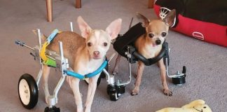 Busta and Boogie in dog wheelchairs